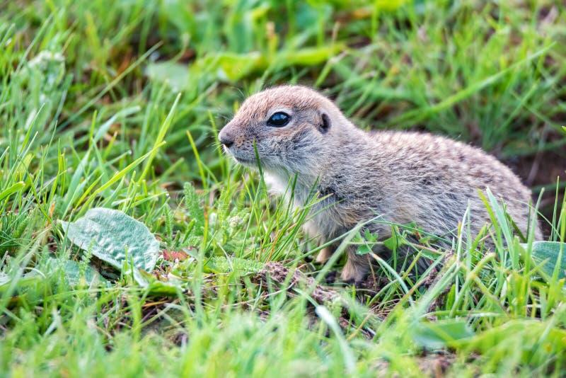 Bergkaukasisches Gopher oder Spermophilus musicus im Gras in Russland lizenzfreie stockfotos