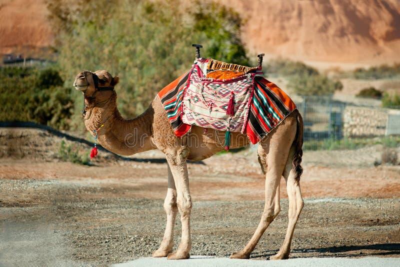 Bergketen, struik en kameel in Negev-woestijn, Israël royalty-vrije stock fotografie