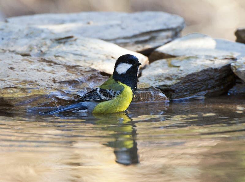 Bergkoolmees,支持绿色的山雀,帕鲁斯monticolus 库存照片