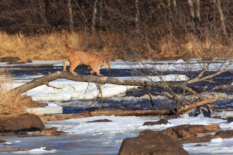Berglöwe, der auf toten Baum über einem gefrorenen Fluss geht lizenzfreie stockfotos
