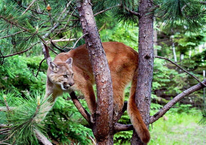 Berglöwe herauf einen Baum stockfotografie