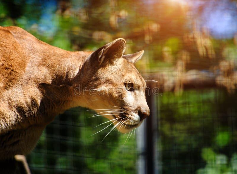 Bergl?we, Puma, Pumaportr?t lizenzfreies stockbild
