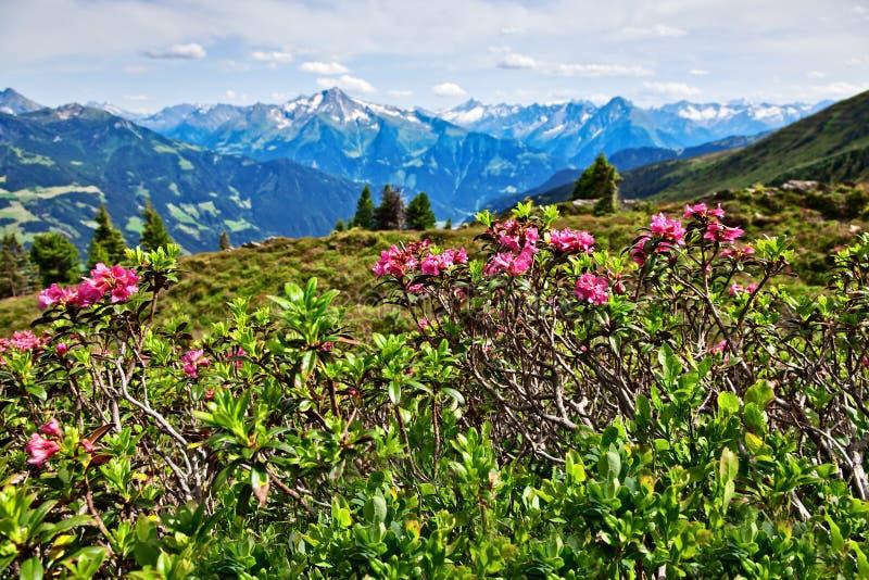 Download Berglandschap Met Alpiene Rozen In De Voorgrond Zillertalvallei Stock Afbeelding - Afbeelding bestaande uit rose, kleurrijk: 113327551
