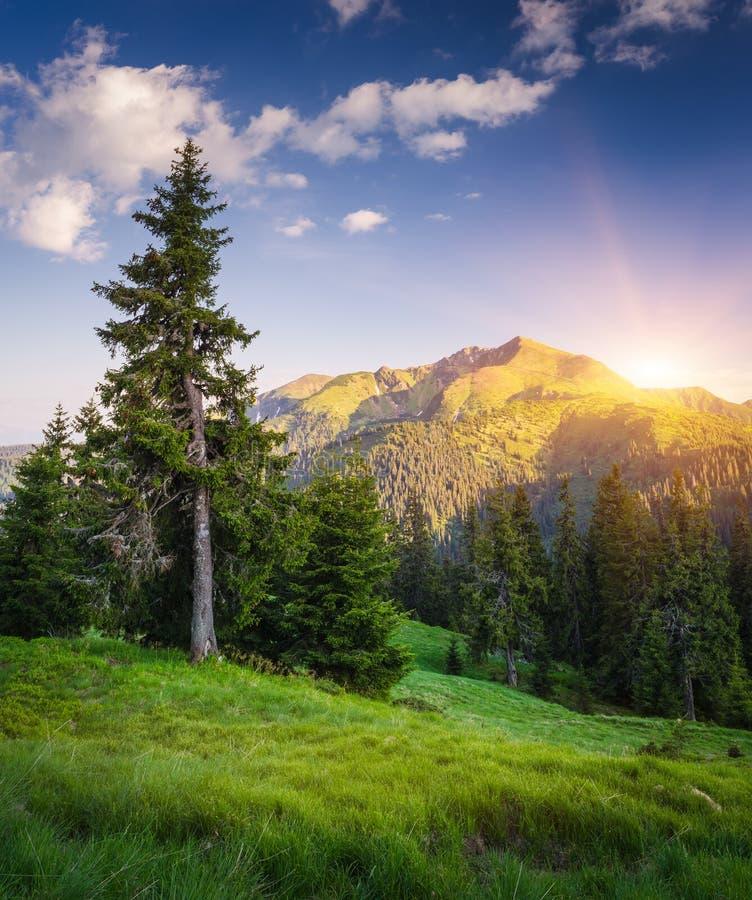 Berglandschap met een spar op een helling op een zonnige dag royalty-vrije stock afbeeldingen