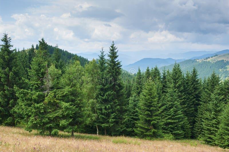 Berglandskap med grantr?d i f?rgrunden solig dag Carpathians Ukraina arkivbild