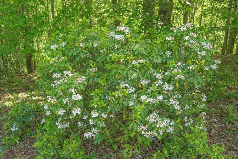 "Berglorbeer †""Kalmia latifolia stockbilder"