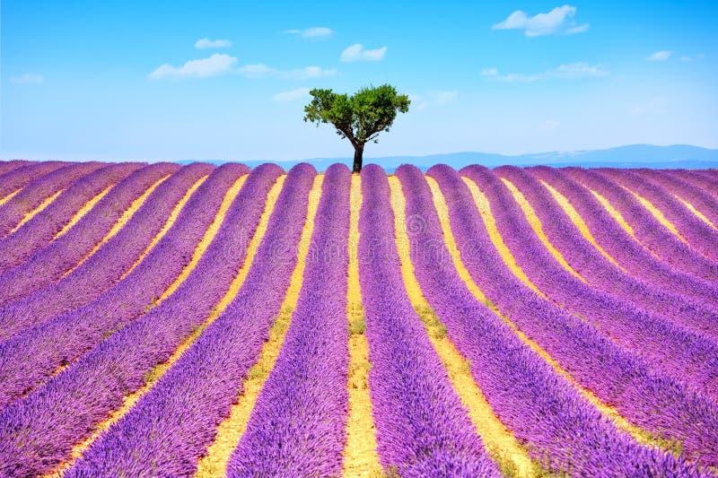 Bergopwaartse lavendel en eenzame boom De Provence, Frankrijk