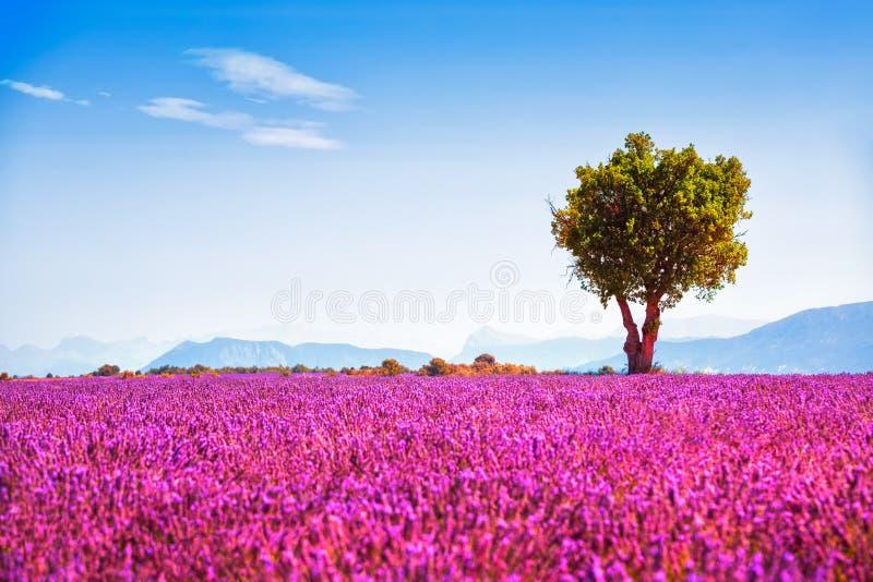 Bergopwaartse lavendel en eenzame boom De Provence, Frankrijk stock foto's