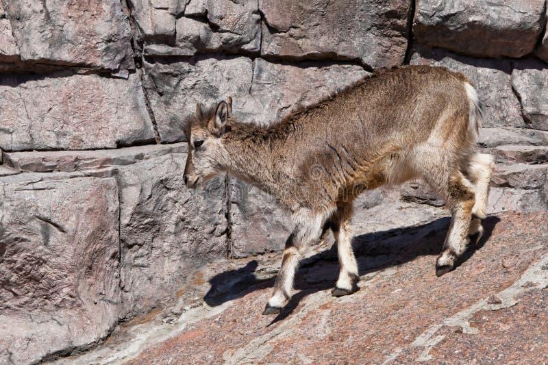 BergRAM Bharal g?r p? vaggar, ett kraftigt traskat l?st djur mot bakgrunden av den steniga terr?ngen fotografering för bildbyråer