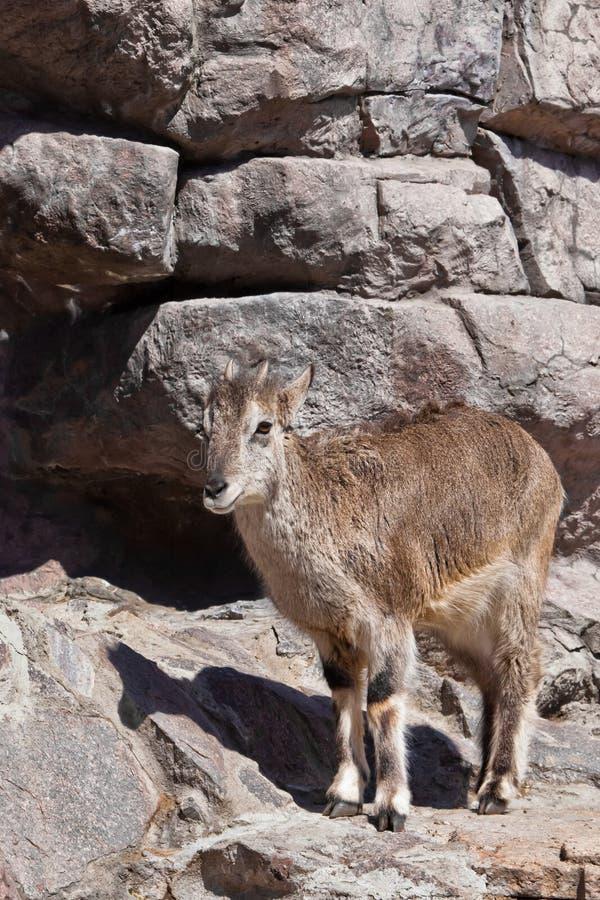 BergRAM Bharal g?r p? vaggar, ett kraftigt traskat l?st djur mot bakgrunden av den steniga terr?ngen royaltyfria bilder