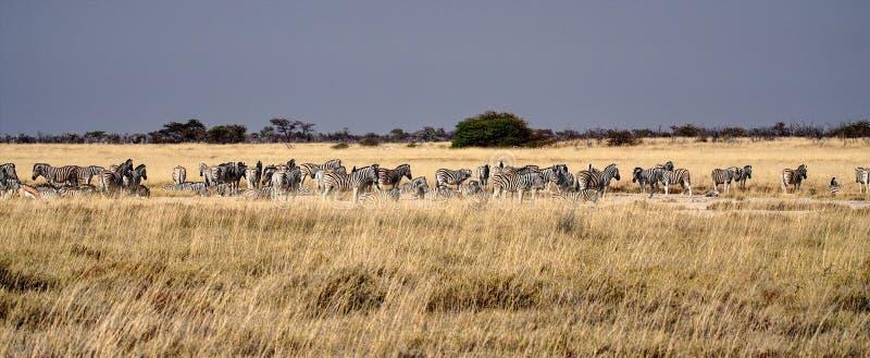Bergsebra, Equussebra i den Etosha nationalparken, Namibia royaltyfria foton
