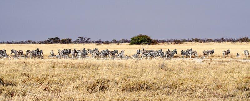 Bergsebra, Equussebra i den Etosha nationalparken, Namibia arkivfoton