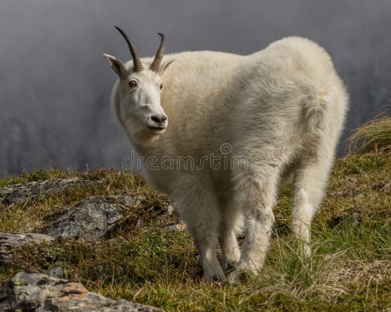 Bergsfår i Alaska royaltyfria bilder