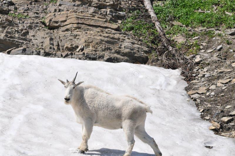 Bergsfår med ett horn arkivfoto
