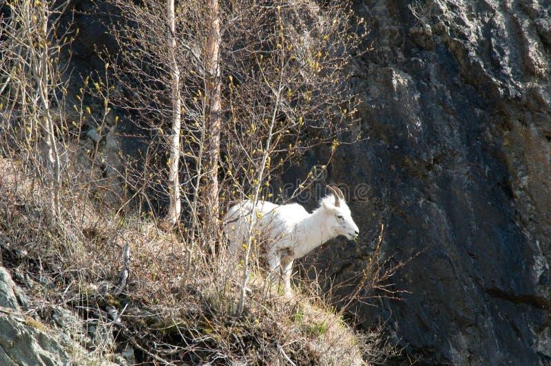 Bergsfår på klippan i Whittier, AK arkivbild