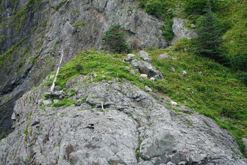 Bergsfår skalliga Eagles arkivfoton