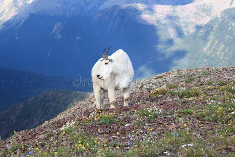 Bergsfår som omges av vildblommor royaltyfria bilder