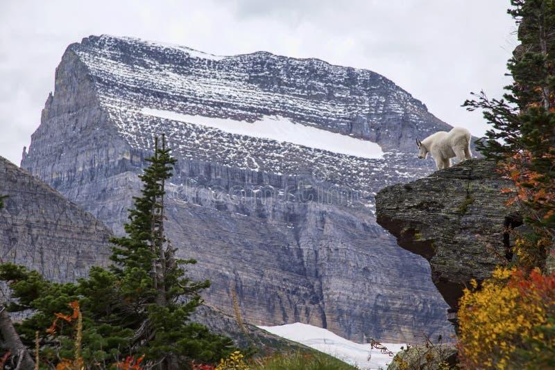 Bergsfår som ut ser över en klippa royaltyfri foto