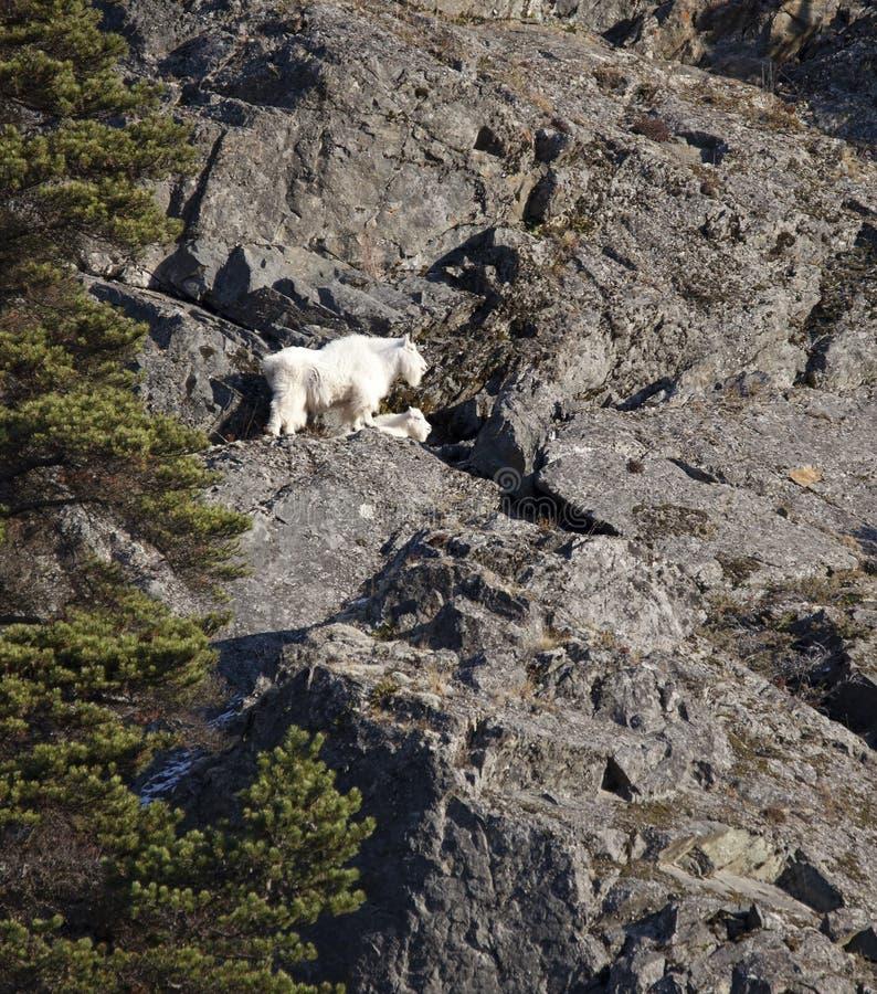 Bergsfåret med behandla som ett barn på en klippa arkivbilder
