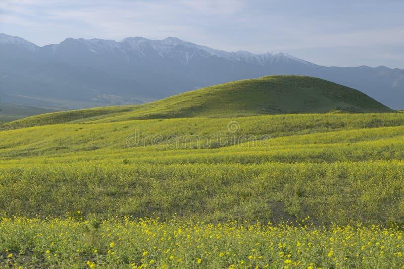 Bergsikten och den spektakulära olik våren för ökenguld och blommar söder av pannaliten vik i den Death Valley nationalparken, CA royaltyfria foton