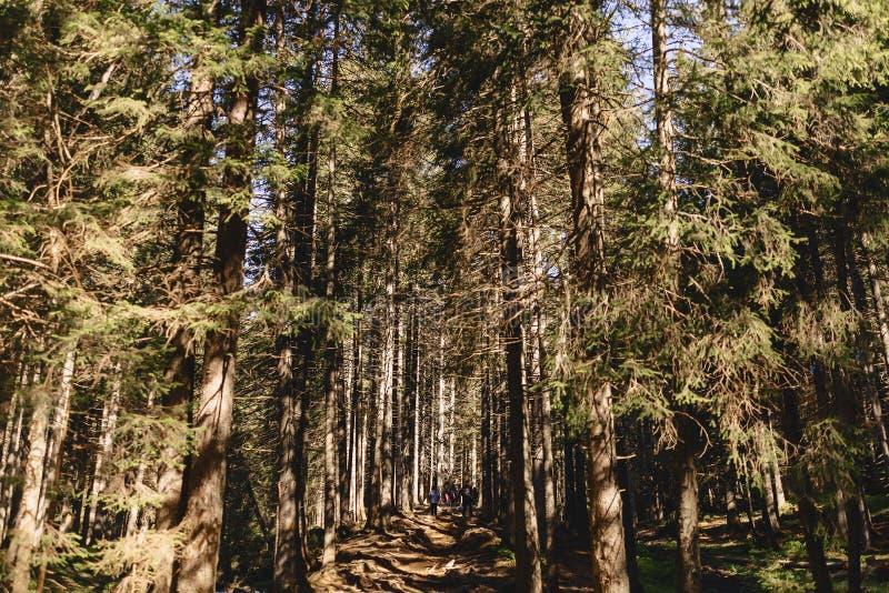 bergskog på carpathians fotografering för bildbyråer