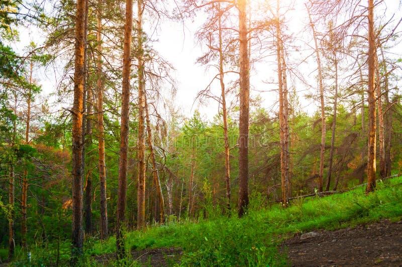 Bergskogträd i sommarsolnedgångljuset Sikt från det Sugomak berget, sydliga Urals, Ryssland royaltyfria bilder