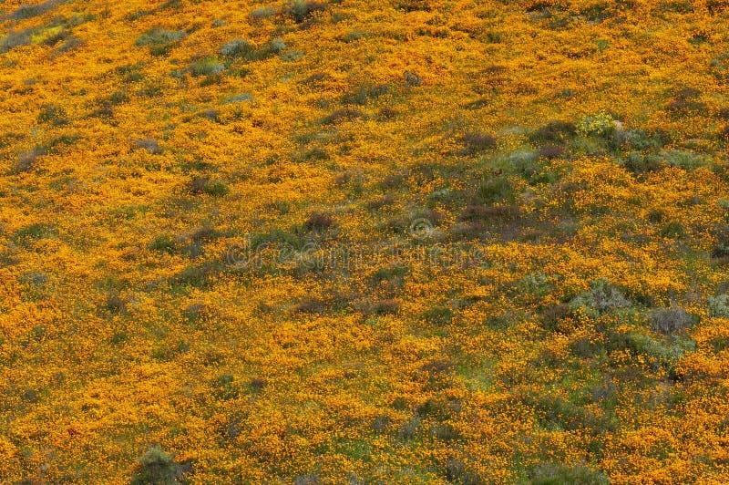 Bergssida som är brinnande med Kalifornien vallmo royaltyfri bild