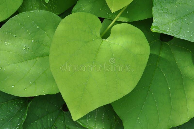 Bergsteiger mit großen grünen Blättern stockfotos