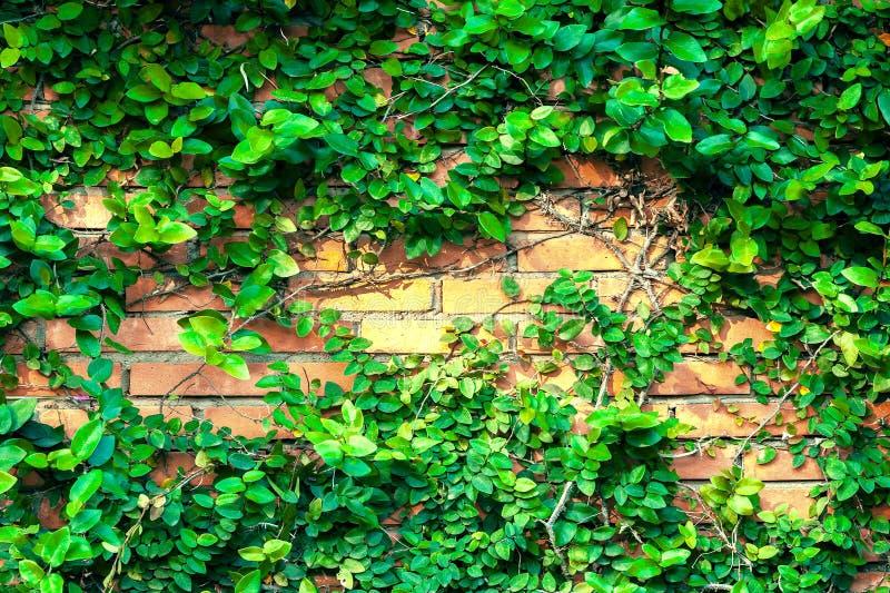 Bergsteigeranlage auf Wandhintergrund des roten Backsteins Grüne Blattbeschaffenheit lizenzfreies stockbild