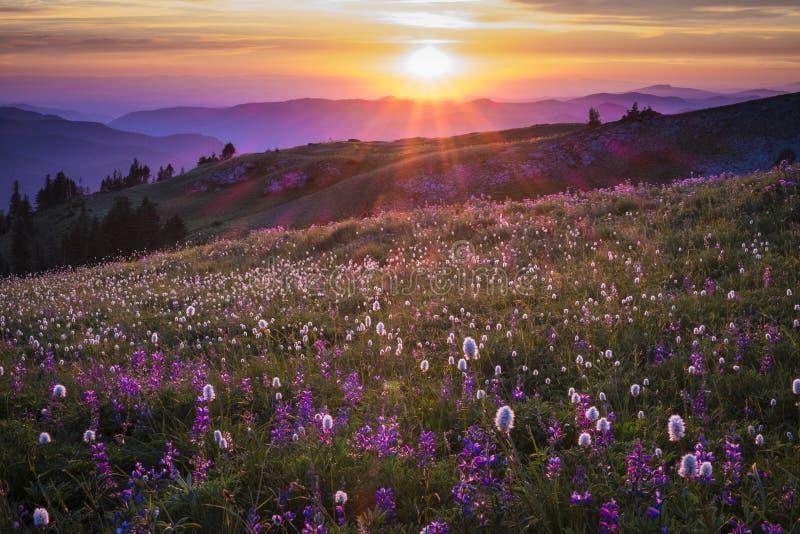 Bergvildblommor backlit av solnedgång royaltyfri fotografi