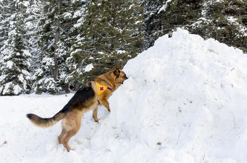 Bergwachthund am bulgarischen roten Kreuz während eines trai lizenzfreies stockfoto