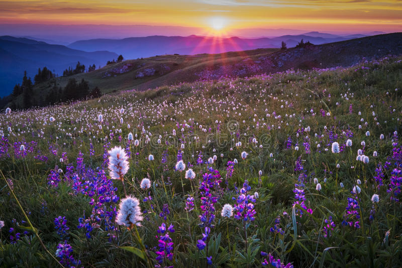 Bergwildflowers backlit door zonsondergang royalty-vrije stock afbeeldingen