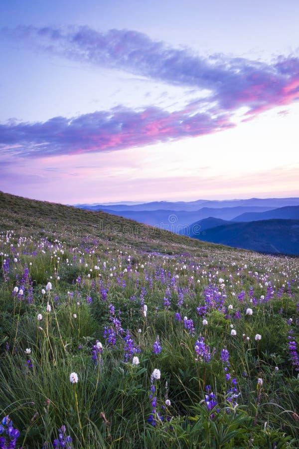 Bergwildflowers backlit door zonsondergang stock fotografie