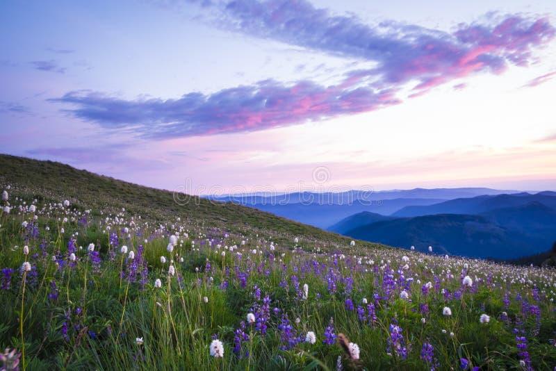 Bergwildflowers backlit door zonsondergang stock afbeelding