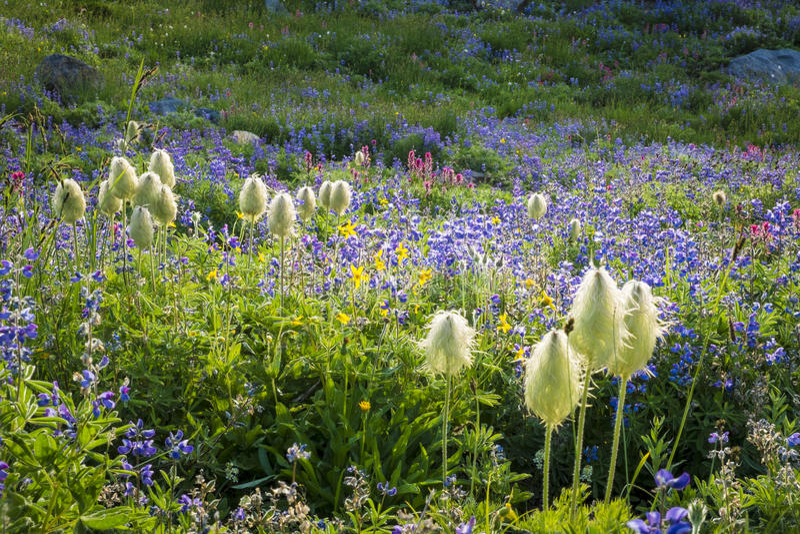 Bergwildflowers, blauwe Lupine, Westelijke pasquebloem, rode pa stock foto's