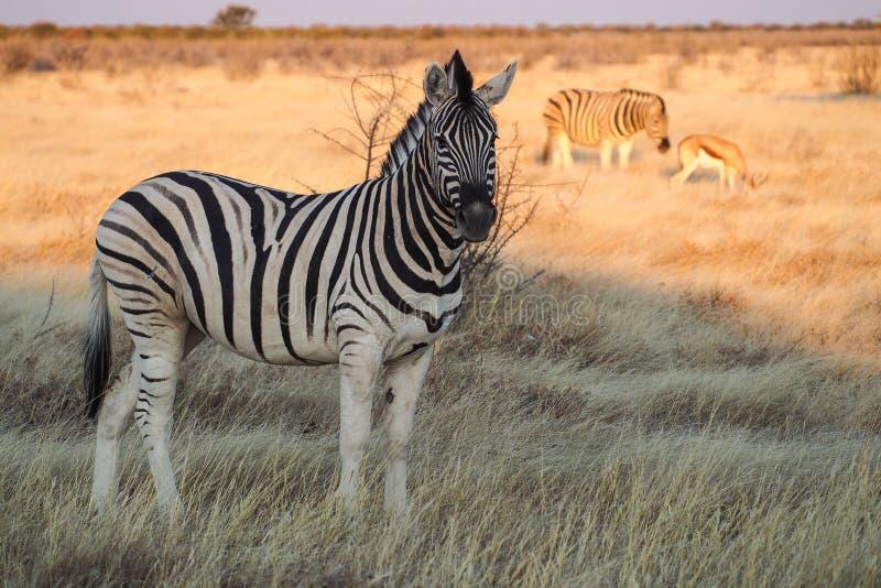 Bergzebra, Equus-zebra in het Nationale Park van Etosha, Namibië stock afbeelding
