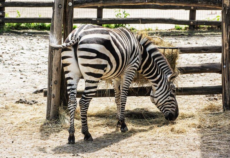 Bergzebra - gestreepte hartmannae die van Equus in gevangenschap voeden stock afbeeldingen