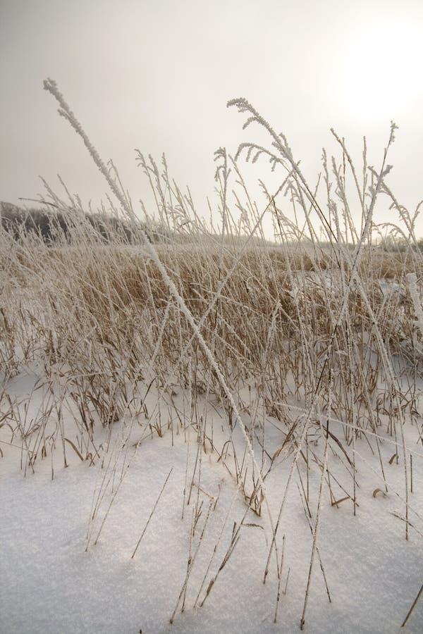 Berijpt lang gras in de sneeuw die de zon onderzoeken royalty-vrije stock foto
