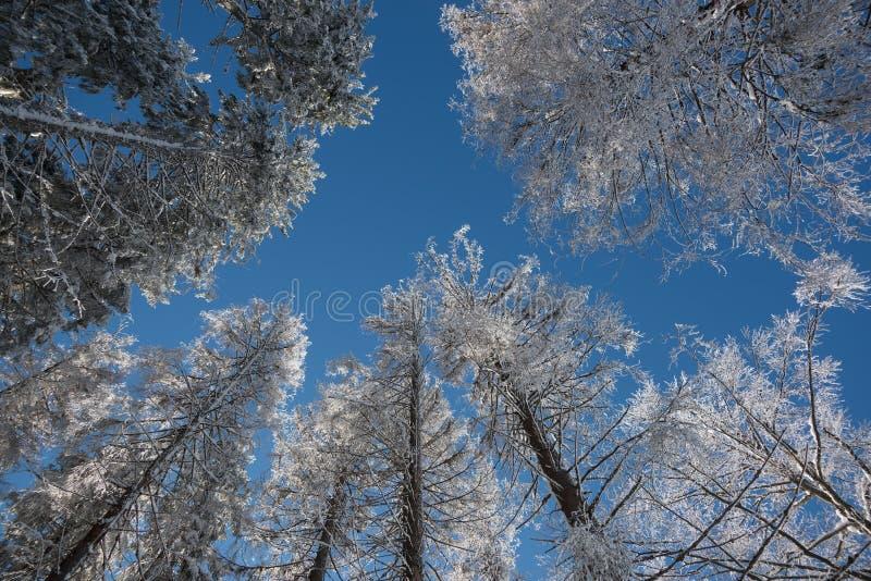 Berijpte bomen tegen blauwe hemel royalty-vrije stock afbeeldingen