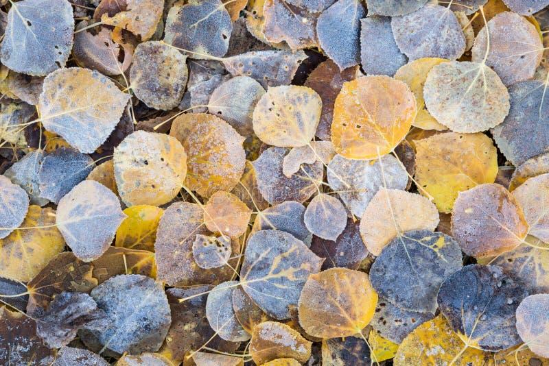 Berijpte, gevallen espbladeren stock fotografie