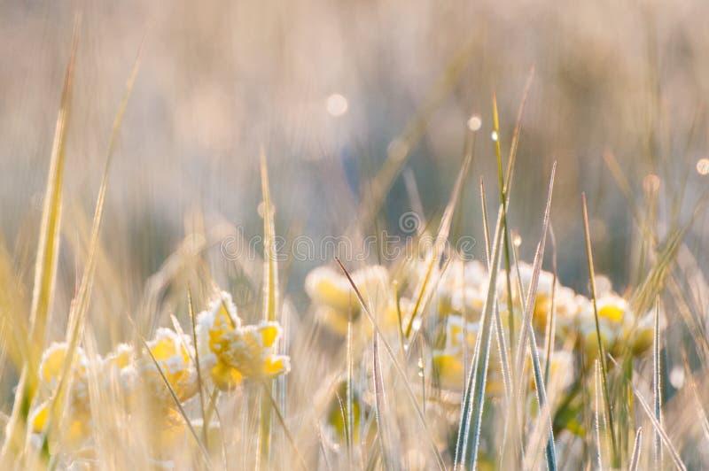 Berijpte vroege de lentebloemen in het gras royalty-vrije stock fotografie