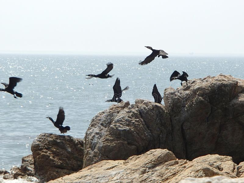 Bering cormorants starting flying from the beach rock on sea and sky background royalty free stock photo