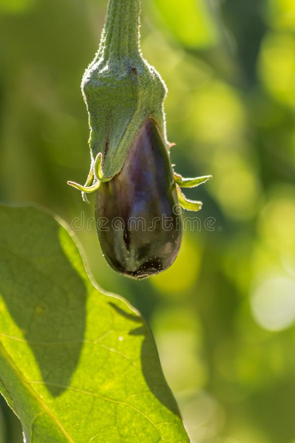 Beringela feita home orgânica fresca que cresce naturalmente em Corfu Grécia imagens de stock