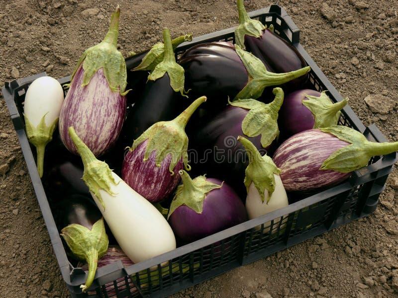 Beringelas cultivados em casa fotos de stock