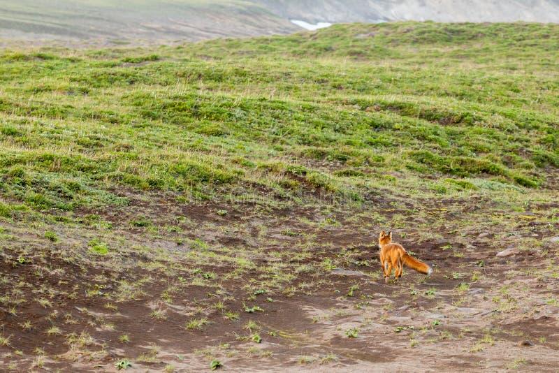 Beringiana selvagem do vulpes do Vulpes do Fox vermelho que corre afastado Península de Kamchatka, Rússia fotos de stock royalty free