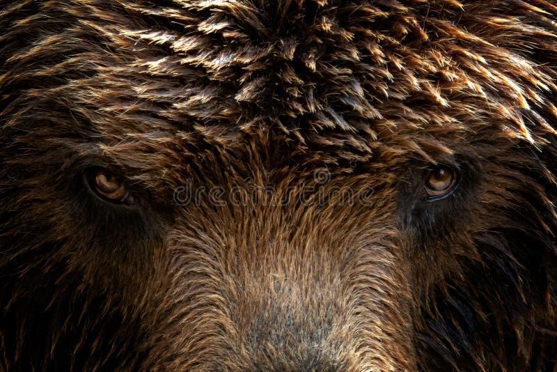 Beringianus d'arctos d'Ursus d'ours brun du Kamtchatka images libres de droits