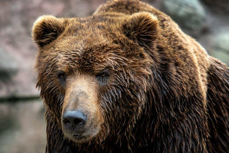 Beringianus d'arctos d'Ursus d'ours brun du Kamtchatka photos libres de droits