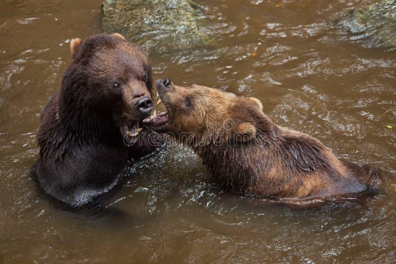 Beringianus de los arctos del Ursus del oso marrón de Kamchatka imagen de archivo