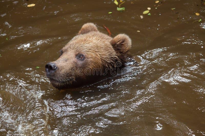 Beringianus dos arctos do Ursus do urso marrom de Kamchatka foto de stock