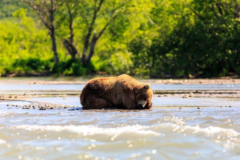 Beringianus dos arctos do Ursus do urso de Brown que dorme no lago Kurile Península de Kamchatka, Rússia imagem de stock